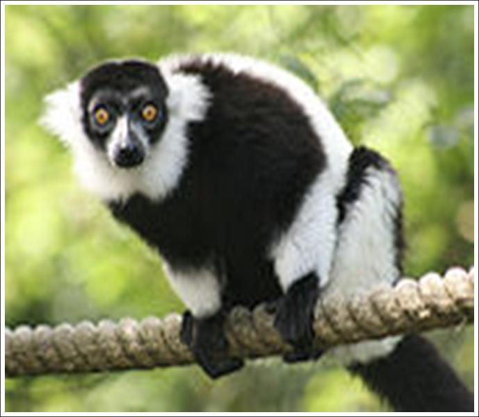 Ida Lemur